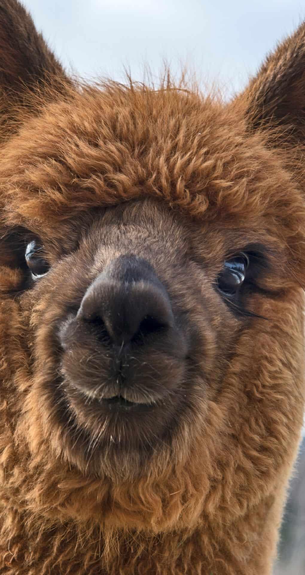 cute iPhone wallpaper with an alpaca